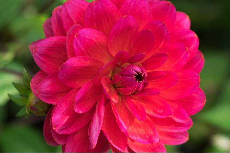 Dahlia dilemmas - Tips for overwintering your Dahlia tubers