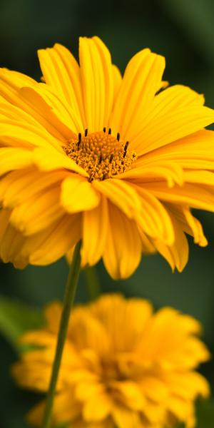 HELIOPSIS 'Sweet Sunshine'