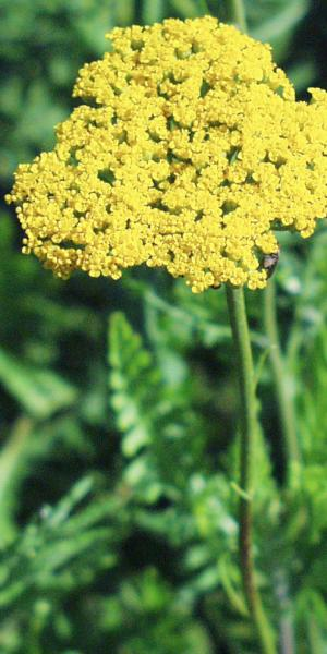 ACHILLEA f. 'Cloth of Gold'