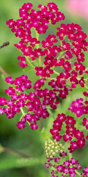 ACHILLEA 'Ruby Wine'