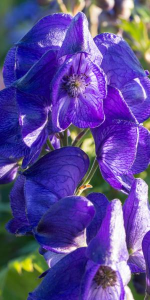 ACONITUM carmichaelii 'Royal Flush'