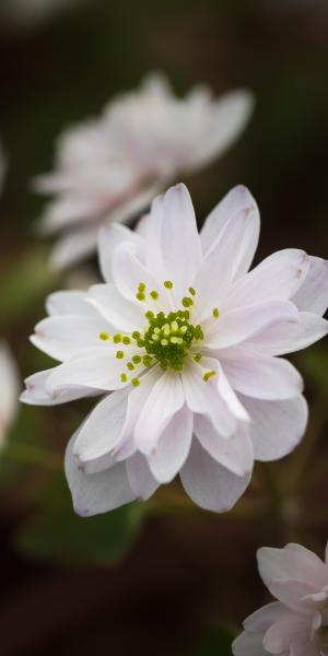 ANEMONELLA thalictroides 'Freefolk Double'