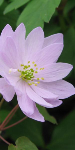 ANEMONELLA thalictroides Pink