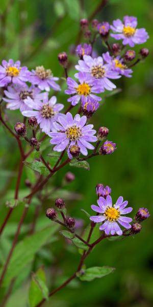 ASTER trifoliatus subsp. ageratoides 'Harry Smith'