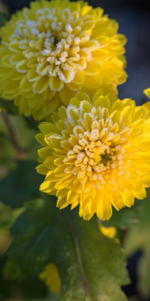 CHRYSANTHEMUM 'Yellow Pom Pom'