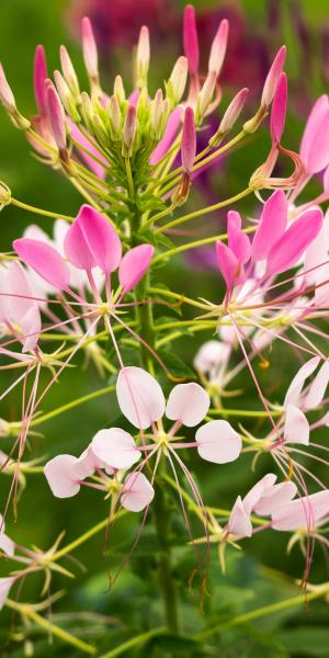 CLEOME Colour Fountains Mix