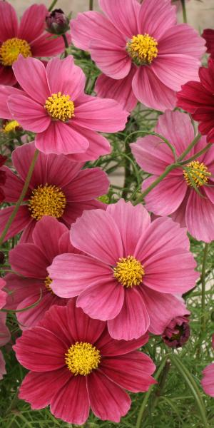 COSMOS 'Antiquity' (Seed)