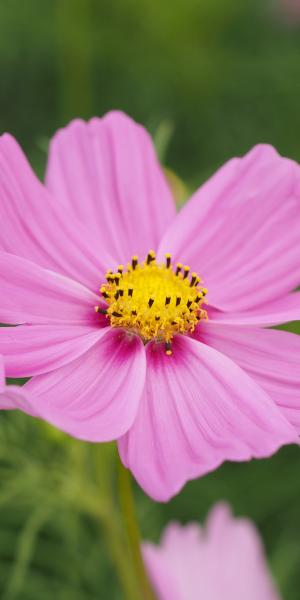 COSMOS Dwarf Wonder Mixed