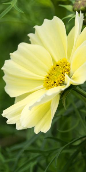 COSMOS 'Xanthos' (Seed)