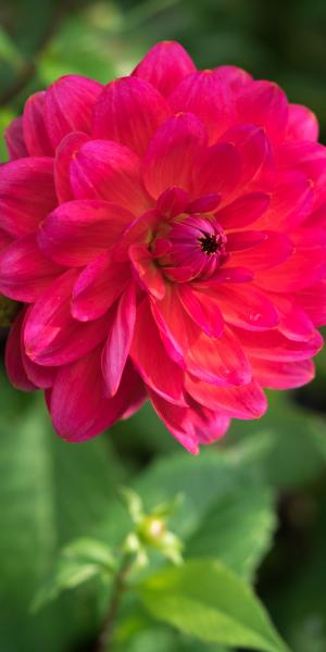 DAHLIA 'Christopher Taylor'