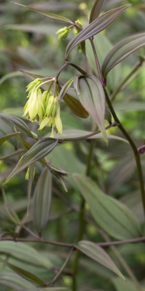 DISPORUM longistylum 'Green Giant'