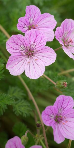 ERODIUM 'County Park'