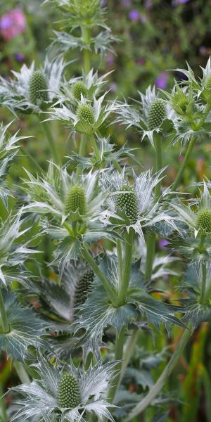 ERYNGIUM Miss Willmott's Ghost