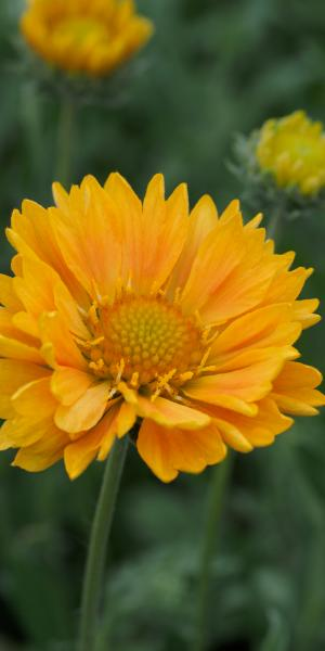 GAILLARDIA 'Apricot Honey'