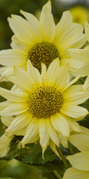 HELIANTHUS debilis 'Vanilla Ice' (Sunflower)