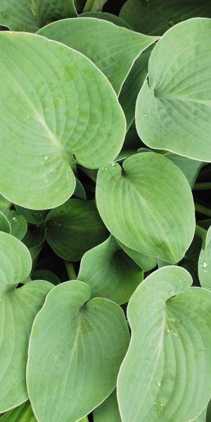 Ferns Hostas