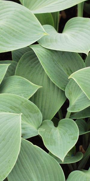 HOSTA 'Halcyon' (Tardiana Group)