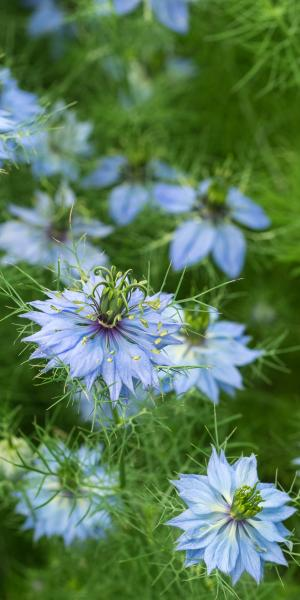 NIGELLA Cottage Garden Curiosity Blend (Seed)