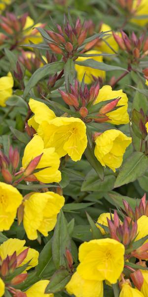 OENOTHERA 'Crown Imperial'