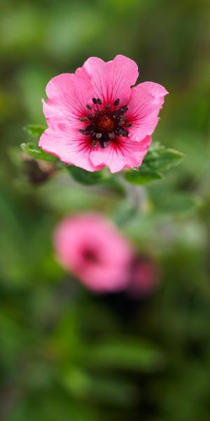 POTENTILLA napalensis 'Miss Willmott'