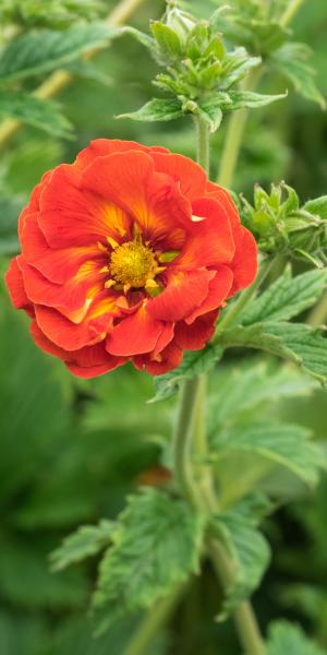 POTENTILLA 'William Rollisson'
