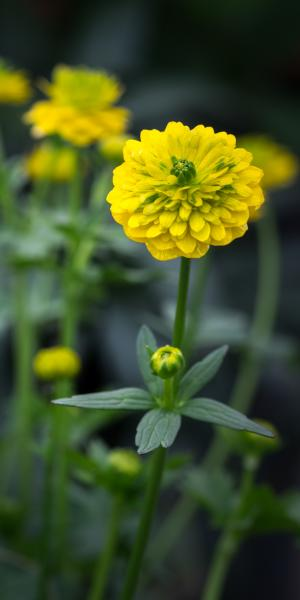 RANUNCULUS montanus double-flowered