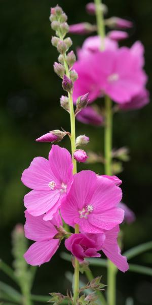SIDALCEA 'Rose Queen'