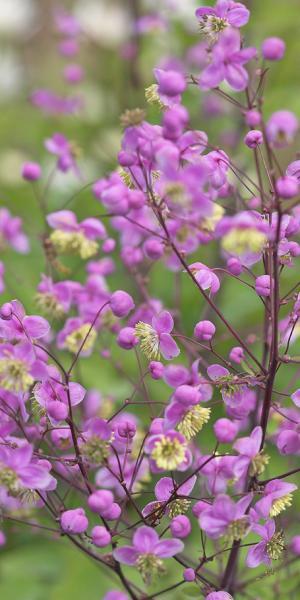 Rochebruneanum for Thalictrum rochebrunianum rhs
