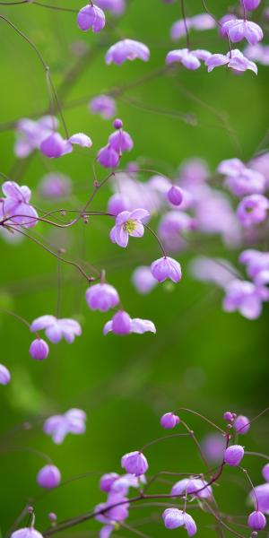 THALICTRUM 'Splendide'