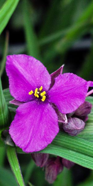 TRADESCANTIA (Andersoniana Group) 'Concord Grape'