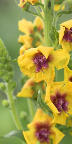 VERBASCUM (Cotswold Group) 'Cotswold Queen'