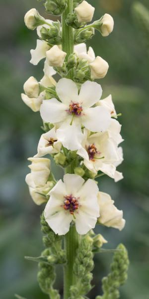 VERBASCUM 'Kynaston'