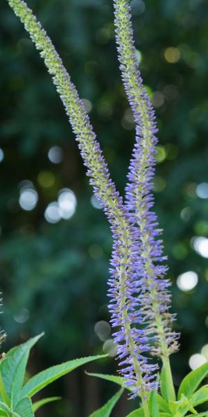 VERONICASTRUM virginicum 'Apollo'